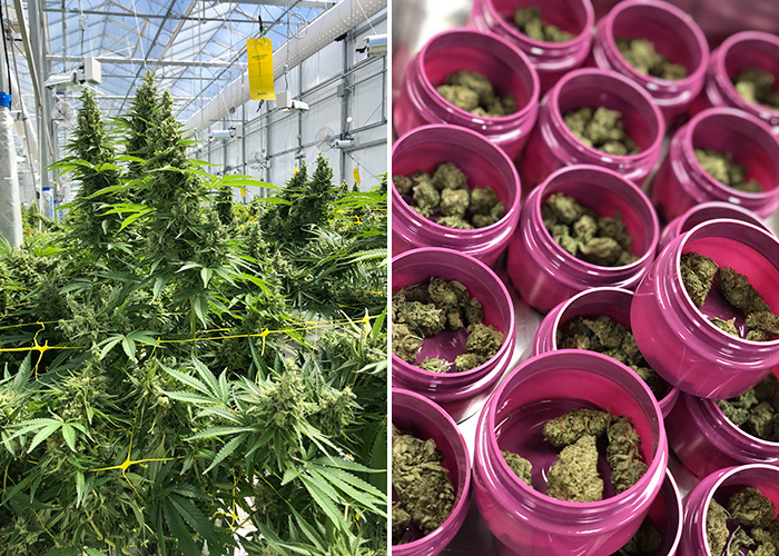 WeedMD greenhouse and packaged products