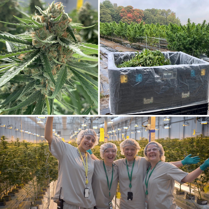 Photos of WeedMD flower, harvest and cultivation supervisors.